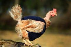 Poulets ex de batterie avec les dessus tricotés photos stock