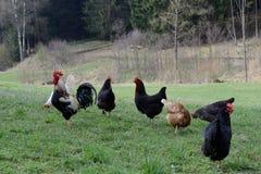 Poulets extérieurs heureux Photos stock
