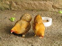 Poulets fermiers image libre de droits