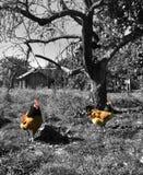 Poulets fonctionnant autour d'une cour photos libres de droits