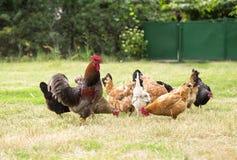 Poulets frôlant sur l'herbe Photos libres de droits