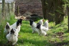 Poulets gratuits de Brahma de gamme, poules et coqs, dans un jardin Images libres de droits