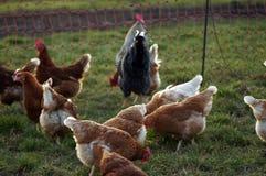 Poulets heureux de ferme dans le saule photo libre de droits