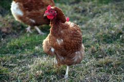 Poulets heureux de ferme dans le saule photographie stock libre de droits