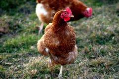 Poulets heureux de ferme dans le saule photos libres de droits