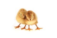 Poulets jaunes images stock