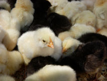 Poulets jaunes et noirs Image stock