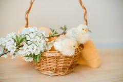 Poulets jaunes nouveau-nés dans un panier en osier Images libres de droits