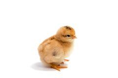 Poulets jaunes regardant un blanc d'isolement Photographie stock libre de droits
