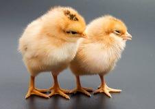 Poulets jaunes regardant un noir photographie stock