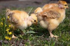 Poulets jaunes sur l'herbe et sur un fond naturel à la ferme, plan rapproché photos libres de droits