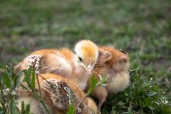 Poulets jaunes sur l'herbe et sur un fond naturel à la ferme, plan rapproché photo libre de droits