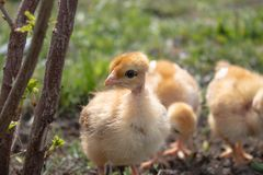 Poulets jaunes sur l'herbe et sur un fond naturel ? la ferme, plan rapproch? photo stock