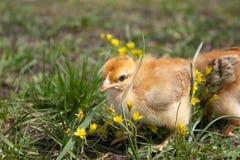 Poulets jaunes sur l'herbe et sur un fond naturel ? la ferme, plan rapproch? image stock