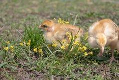 Poulets jaunes sur l'herbe et sur un fond naturel ? la ferme, plan rapproch? images stock