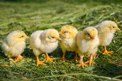 Poulets jaunes sur une pelouse à une ferme image libre de droits