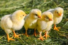 Poulets jaunes sur une pelouse à une ferme photo stock