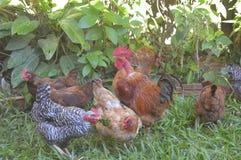 Poulets lâches dans le jardin photos libres de droits