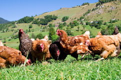 Poulets libres d'intervalle images stock