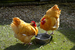 Poulets libres d'intervalle photo stock