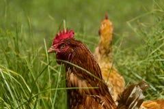 Poulets libres dans la ferme organique d'oeufs marchant sur l'herbe verte images libres de droits