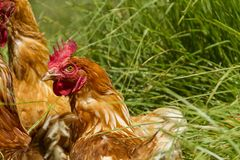 Poulets libres dans la ferme organique d'oeufs marchant sur l'herbe verte photos libres de droits