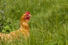 Poulets libres dans la ferme organique d'oeufs marchant sur l'herbe verte photographie stock