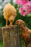 Poulets mangeant du pain sur le tronçon d'arbre photographie stock libre de droits