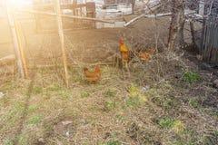 Poulets marchant dans la cour photo libre de droits
