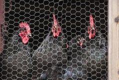Poulets mis en cage derrière le grillage image stock