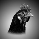Poulets noirs et blancs de poulet et femelles principaux photos libres de droits