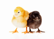 Poulets noirs et jaunes de chéri Photo stock