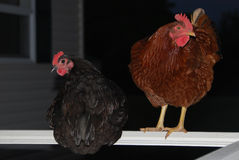 Poulets noirs et rouges roosting Image stock