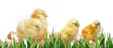 Poulets nouveau-nés image stock
