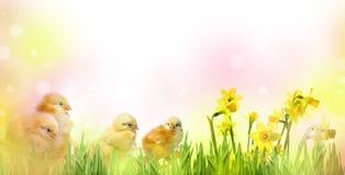 Poulets nouveau-nés jaunes mignons photo stock
