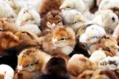 Poulets nouveau-nés Photo stock
