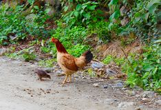 Poulets partout ! Coqs et poules et poussins ! Photo libre de droits