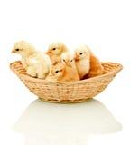Poulets pelucheux alertes dans un panier Images stock