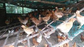 Poulets qui reste dans une cage de poulet images stock
