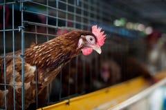 Poulets rouges d'oeufs dans la cage de couche photos libres de droits