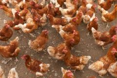 Poulets rouges dans la ferme Photos libres de droits