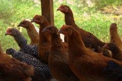 Poulets rouges dans un corral photo stock