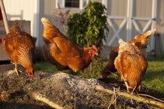 Poulets rouges sur une pile de compost photos libres de droits