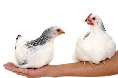 Poulets se reposant sur le bras photos stock