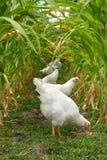 Poulets sous l'auvent de maïs Photographie stock