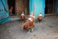 Poulets sur la cour photos stock