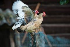 Poulets sur la ferme avicole gratuite traditionnelle de gamme photographie stock