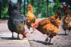 Poulets sur la ferme avicole gratuite traditionnelle de gamme photographie stock libre de droits