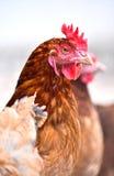 Poulets sur la ferme avicole gratuite traditionnelle de gamme image stock
