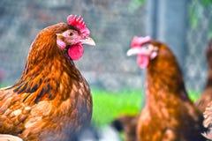 Poulets sur la ferme avicole gratuite traditionnelle de gamme photo stock